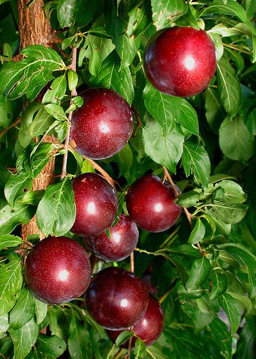 Crimson Glo (cov)