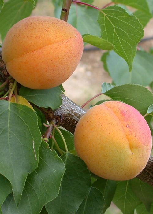 Orange Summer®